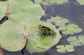 picture of water lily  - Frog and Water Lily leaf - JPG
