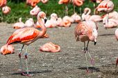 foto of pink flamingos  - The pink Caribbean flamingo ( Phoenicopterus ruber ruber ) goes on water. Pink flamingo goes on a swamp.