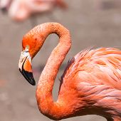 picture of pink flamingos  - The pink Caribbean flamingo ( Phoenicopterus ruber ruber ) goes on water. Pink flamingo goes on a swamp.