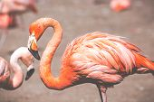 stock photo of pink flamingos  - The pink Caribbean flamingo  - JPG