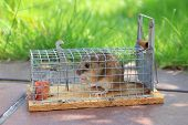 picture of mouse trap  - mouse live trap with captured mouse at the garden terrace - JPG