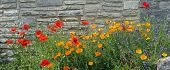 foto of lavender plant  - red poppy lavender and iceland poppy flowers against grungy stone wall