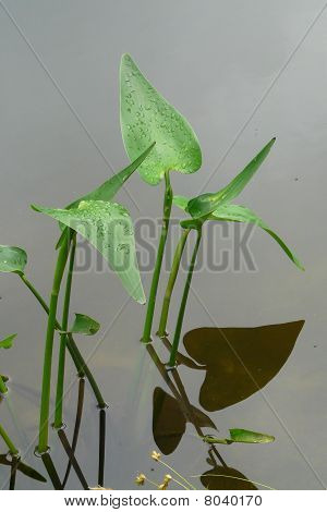 Pickerel Weed Leaves and Reflection