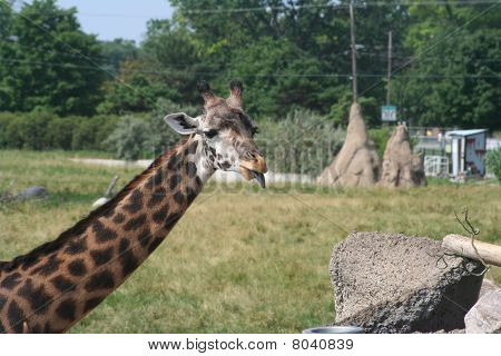 Giraffe eating in the wild