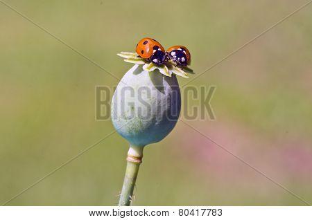 Two Ladybird Ladyluck On Green Poppy Seeds Head