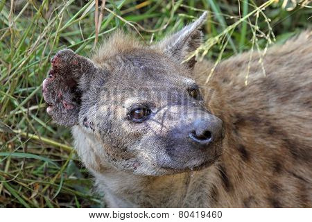 Portrait Of A Spotted Hyena