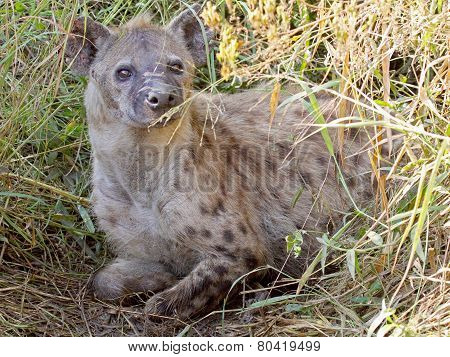 Spotted Hyena In The Vegetation
