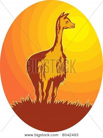 Vicuna standing with sun