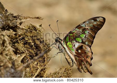 Beautiful Tailed Jay butterfly the beautiful spots wings butterfly sipping molass from elephant's