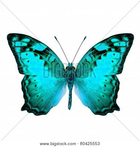 Beautiful Vagrant Butterfly upper wing in fancy light blue color profile isolated on white background