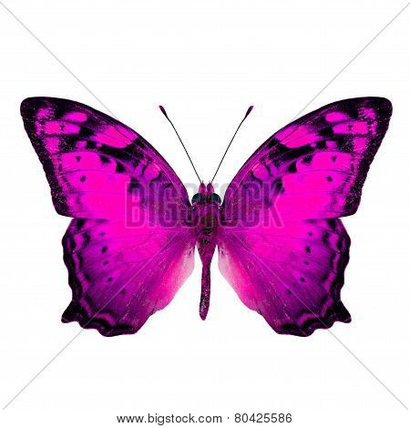 Beautiful Vagrant Butterfly upper wing in fancy pink color profile isolated on white background