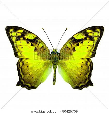 Beautiful Vagrant Butterfly upper wing in fancy yellow color profile isolated on white background