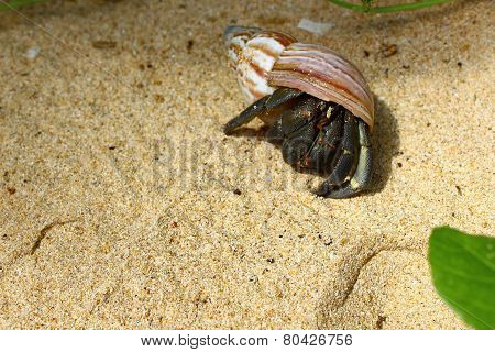 soldier-crab
