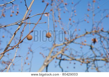 Plane Tree Winter Branches Background