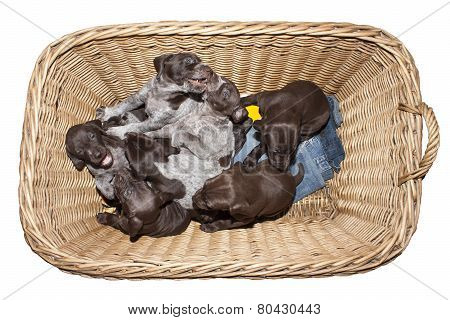 German shorthaired pointer puppy, three weeks old, in a wicker basket, isolated on white