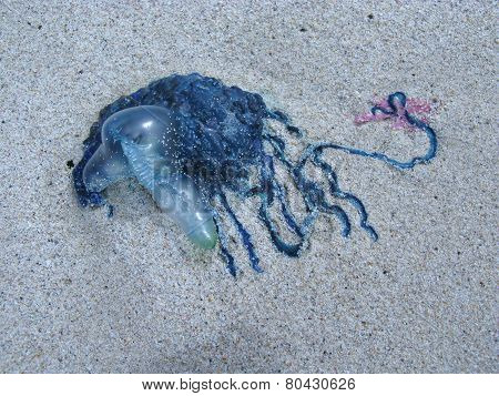 Toxic blue jelly like marine animal