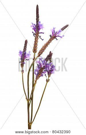 Flowering Canarian Lavender