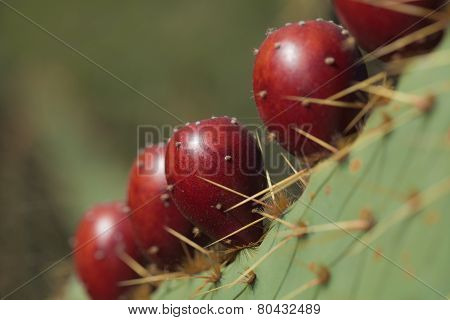 A Row Of Shiny Brown Fruit Of Opuntia Linguiformis