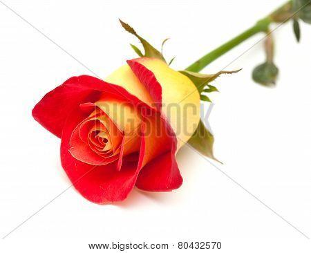 Variegated Yellow And Orange Rose