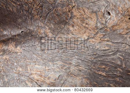 Bark Beetle Patterns On A Dead Eucalyptus