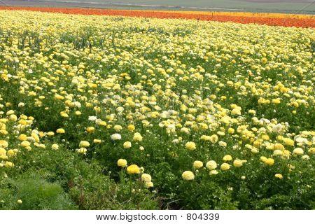 Carpet Of Yellow Roses