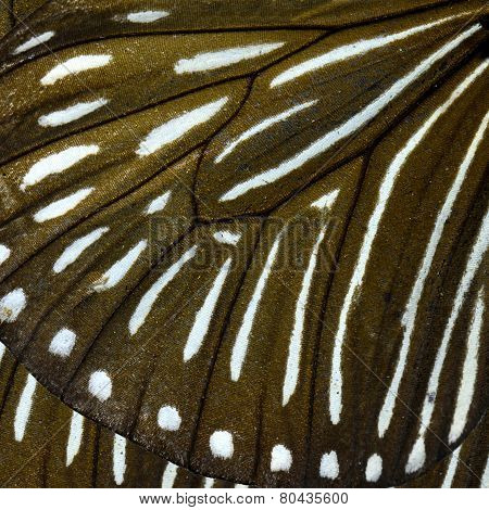 Close up of Stripe Blue Crow butterfly's wing texture for brown and white background