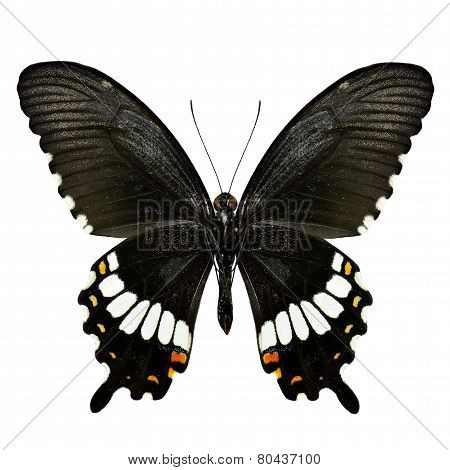 Closeup of Common Mormon Butterfly Lower Wing in Natural Color Profile Isolated on White Background