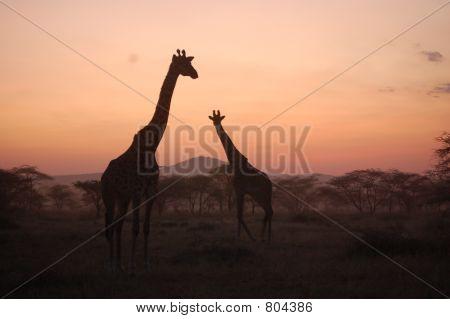 Giraffe's at African Sunset