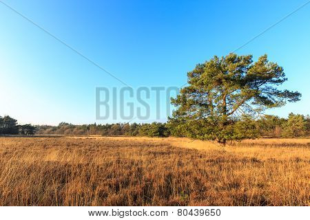 Heath Landscape In Evening Glow In Holland