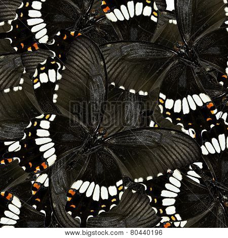 Compilation of Common Mormon Butterflies in a great black and white background texture