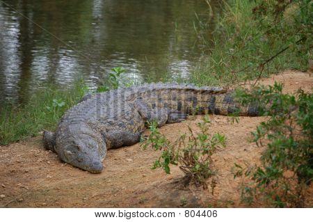 Crocodile on shore, basking in sun