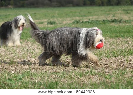 Bearded Collie Running With A Toy