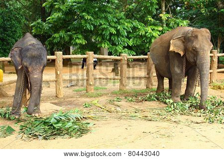 Young Indian elephant