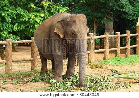 Indian elephant in elephant nursery