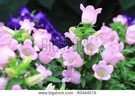 Fuchsia flowers,Hybrid Fuchsia,Lady's Eardrops,Common Fuchia
