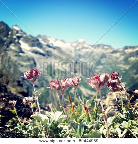 Mountain Flowers - Retro Filter. View Of Distant, Flowers In Forefront.