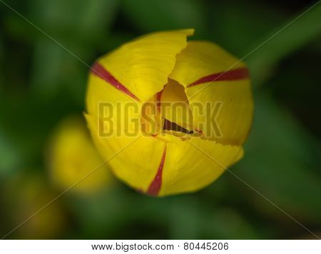 Yelow tulip with red flames