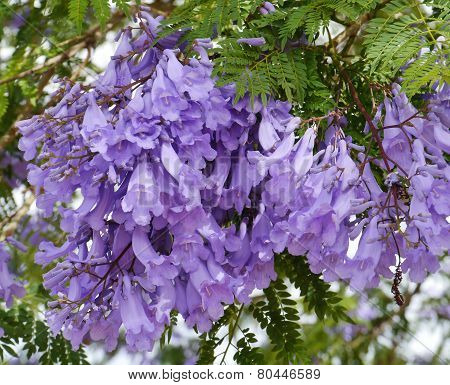 The violet flowers of the Jacaranda