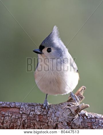 Little Titmouse