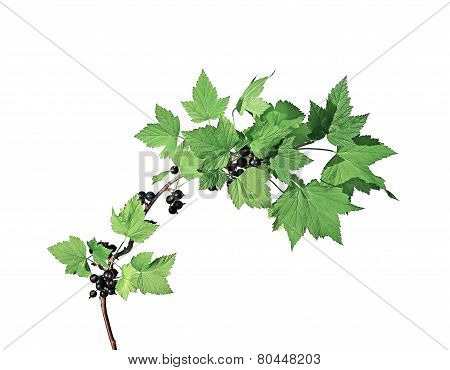 Branch With Leaves And Berries Of  Blackcurrant