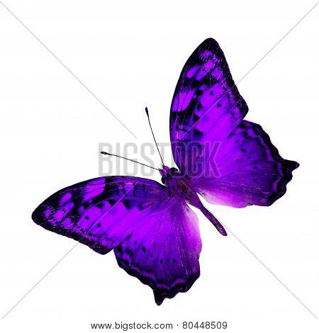 Exotic Flying Purple Butterfly In Fancy Color Profile Isolated On White Background (vagrant Butterfl