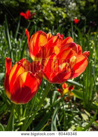 Orange tulips in bright sunlight