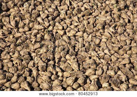 Acres With Sugar Beets