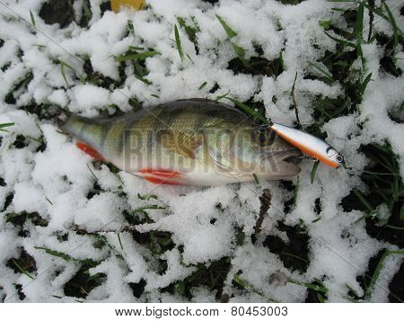 Nice catch perch caught using fishing rod and artificial lure