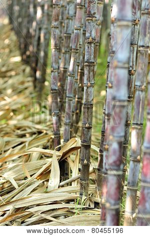 sugarcane plants in growth at field