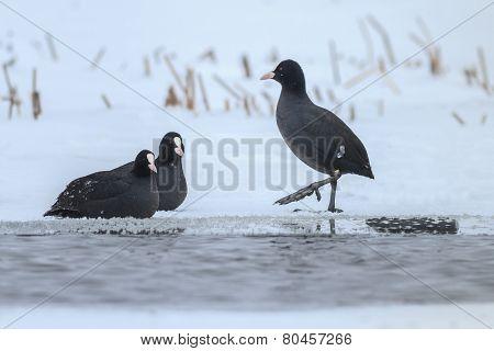 Eurasian Coot  In Winter