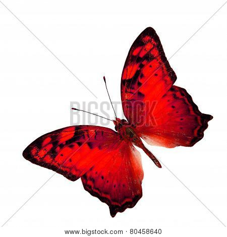 Exotic Red Butterfly In Fancy Color Profile Isolated On White Background (vagrant Butterfly)