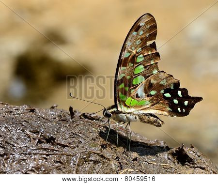Exotic Tailed Jay Butterfly, The Beautiful Spots Wings Butterfly Sipping Molass From Elephant's Shit