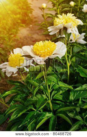 Paeonia Lactiflora (whitleyi Major)