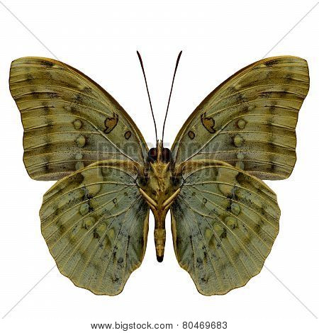 Great Marquis Butterfly Lower Wing Profile In Natural Color Isolated On White Background